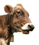 Head of brown cow (bos primigenius taurus) with cowbell. Isolated on white background Royalty Free Stock Images