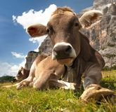 Head of brown cow (bos primigenius taurus), with cowbell. Head of brown cow (bos primigenius taurus) with cowbell under Monte Pelmo, Italy Stock Photos