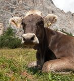 Head of brown cow (bos primigenius taurus), with cowbell. Head of brown cow (bos primigenius taurus) with cowbell under Monte Pelmo, Italy Royalty Free Stock Images