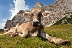 Head of brown cow (bos primigenius taurus), with cowbell Stock Image
