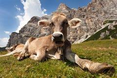 Head of brown cow (bos primigenius taurus), with cowbell. Head of brown cow (bos primigenius taurus) with cowbell under Monte Pelmo, Italy Stock Image