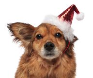 Head of brown dog with santa cap and funny ear. Close up of brown furry metis dog with santa cap and funny ear sticking out on white background Royalty Free Stock Image