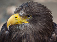 Head of brown eagle Royalty Free Stock Photo