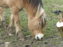 Head of a brown farm horse in the meadow. Picture of a brown farm horse in the meadow Stock Photo