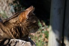 Head of a brown, ginger and black striped cat resting in the sun, alert and watching royalty free stock image