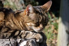 Head of a brown, ginger and black striped cat resting in the sun royalty free stock photos