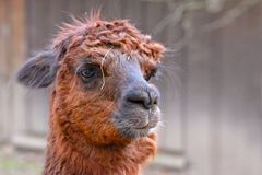 Head of a brown hairy alpaca camelid on blurry background royalty free stock image