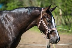 The head of brown Hanoverian horse in the bridle or snaffle with the green background of trees an grass in the sunny summer day stock image