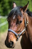 The head of brown Hanoverian horse in the bridle or snaffle a with the green background of trees an grass in the sunny summer day stock photography