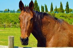 Head of brown horse. A closeup portrait of the head of a beautiful brown or chestnut horse in a country field on a spring day Royalty Free Stock Photography