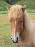 A head of a brown horse. In the field Stock Photo