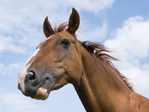 Head of brown horse against blue sky with clouds Stock Image