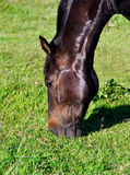 Head of a Brown Horse Eating Grass Royalty Free Stock Photos