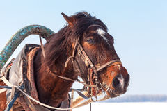 Head of brown horse with harness in winter day Stock Photo