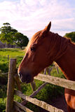 Head of a brown horse Norfolk, Baconsthorpe, United Kingdom. The Norfolk Coast Area of Outstanding Natural Beauty is a protected landscape in Norfolk, England royalty free stock images
