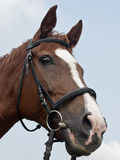 Head of brown horse Stock Images
