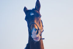 Head of the brown horse on the sky background Royalty Free Stock Images
