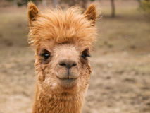 Head of brown lama Stock Photography