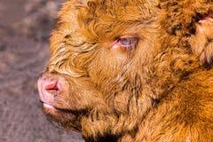 Head brown newborn scottish highlander calf. Close up head brown newborn scottish highlander calf Stock Photos