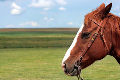 Head of brown-reddish horse. Profile of a horse head as seen in Alberta, Canada royalty free stock photo