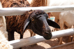 Head of brown sheep, Thailand Stock Image