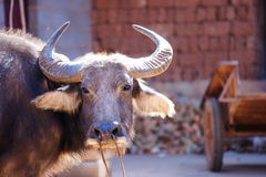 Head of a brown water buffalo standing on a farm in the afternoon. Head of a brown water buffalo resting and standing on a farm while the sun is shining on its Stock Photography