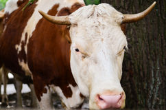 Head of a brown white bull. Brown white bull with white head and horn is posing next to tree. Photo taken on: August 30th 2014 Stock Photo