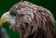 Head of a brown white-tailed eagle Stock Images