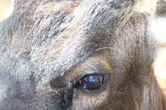 Head bruna hjortar royaltyfri fotografi