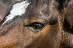 Head of brwn horse close up. Horse eye Royalty Free Stock Photos
