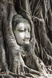 Head of Buddha image in the tree, Ayutthaya, Thailand. Unesco Royalty Free Stock Photos