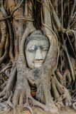 Head of Buddha image in tree root. In Thailand stock image