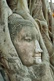 Head of buddha in root Royalty Free Stock Images
