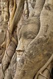 Head of buddha in root Royalty Free Stock Photography
