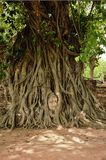 The head of Buddha. In roots of the tree, at wat Mahathat, Ayutthaya,Thailand Royalty Free Stock Image