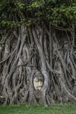 Buddha head surronded by Giant Ficus Benjamin Tree. A head of a Buddha sculpture is surrounded by wood of a Giant Ficus Benjamin Tree in Ayutthaya archeological royalty free stock photos