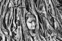 Head of Buddha statue in Banyan Tree with black and white tone, Stock Image