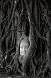 Head of Buddha statue in Banyan Tree with black and white tone, Stock Images