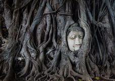 Head of a Buddha Statue in a Banyan Tree Stock Photography