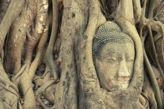 Head of Buddha statue entwined by roots Stock Photography