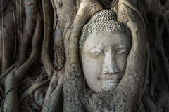 Head of buddha statue in the Pho tree roots at Wat Mahathat temp. Le, Landmark of Ayutthaya, Thailand royalty free stock images