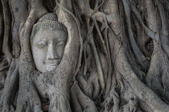 Head of buddha statue in the Pho tree roots at Wat Mahathat temp. Le, Landmark of Ayutthaya, Thailand royalty free stock photo