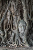 Head of buddha statue in the Pho tree roots at Wat Mahathat temp. Le, Landmark of Ayutthaya, Thailand stock photos