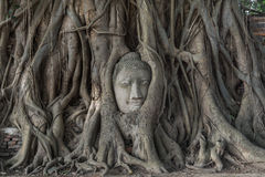 Head of buddha statue in the Pho tree roots at Wat Mahathat temp. Le, Landmark of Ayutthaya, Thailand. (Normal view royalty free stock photography