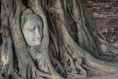 Head of buddha statue in the Pho tree roots at Wat Mahathat temp. Le, Landmark of Ayutthaya, Thailand. (Side view royalty free stock photography