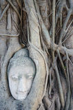 Head of buddha statue in the roots of tree at Ayutthaya, Thailand Royalty Free Stock Images