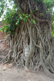 Head of Buddha statue in the tree roots Stock Photos