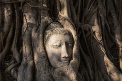 Head of buddha statue in tree roots Stock Image