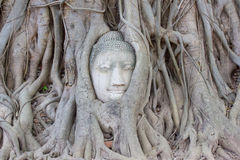 Head of Buddha statue in the tree roots at Wat Mahathat, Ayuttha Stock Images