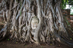 Head of Buddha statue in the tree roots at Wat Mahathat Stock Photo